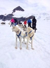 Alaska sledehonden