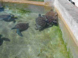 Grand Cayman (Turtle farm)