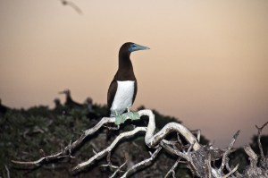 Brown Booby-- they usualy make their nest amongst the vegetation away from the beach.