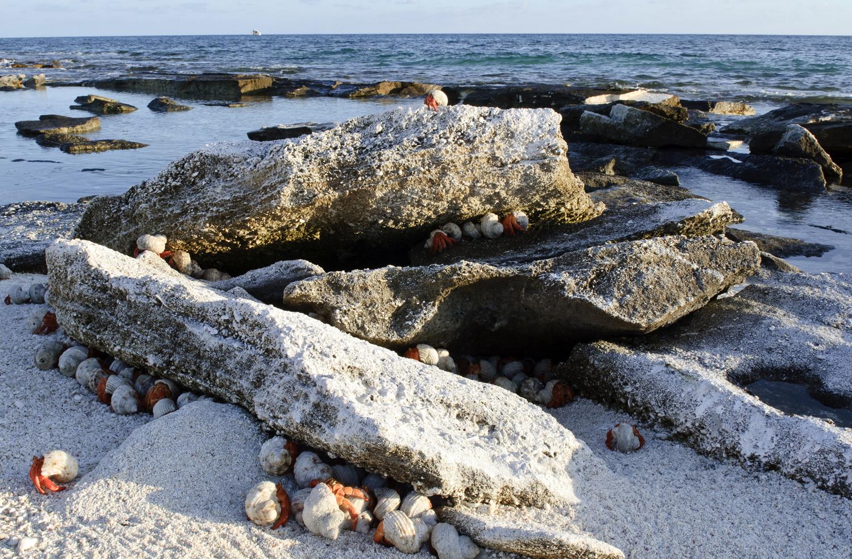red hermit crabs willis islets_0165