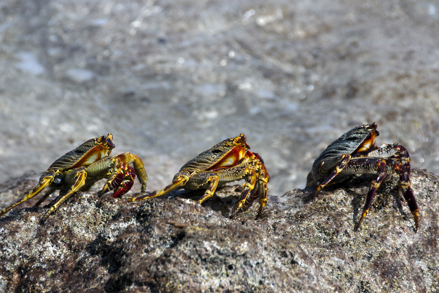 Pale Lined Rock crabs scamper around the rocky shore