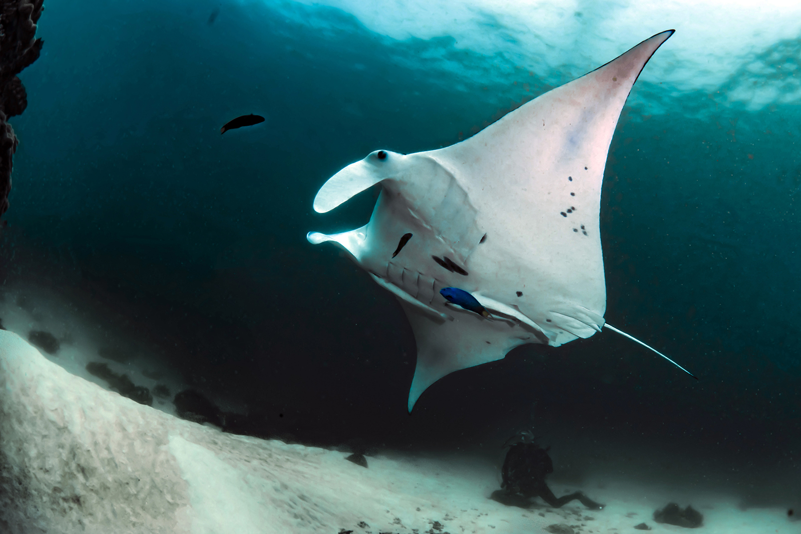robin jeffries with manta rays