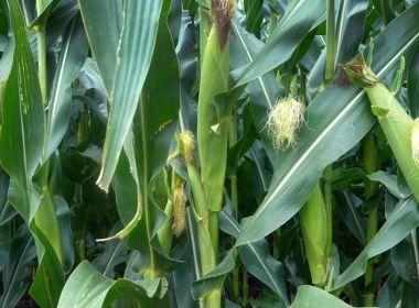 Les contrats à terme sur le maïs prévoient un premier gain en 5 sessions, les prix du blé chutent après le rapport de l'USDA