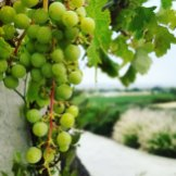 Chardonnay grapes at Gloria Ferrer Carneros Sonoma County