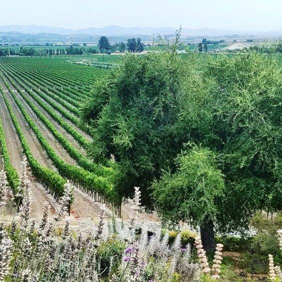 Vineyards Gloria Ferrer Carneros Sonoma County