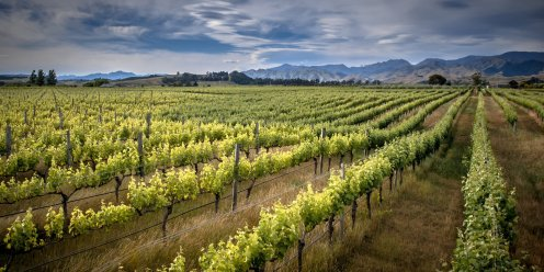 Organic Vineyard, Marlborough, New Zealand