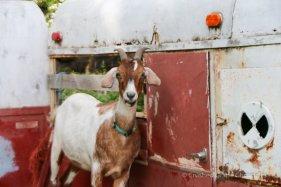 Hiyu Goats
