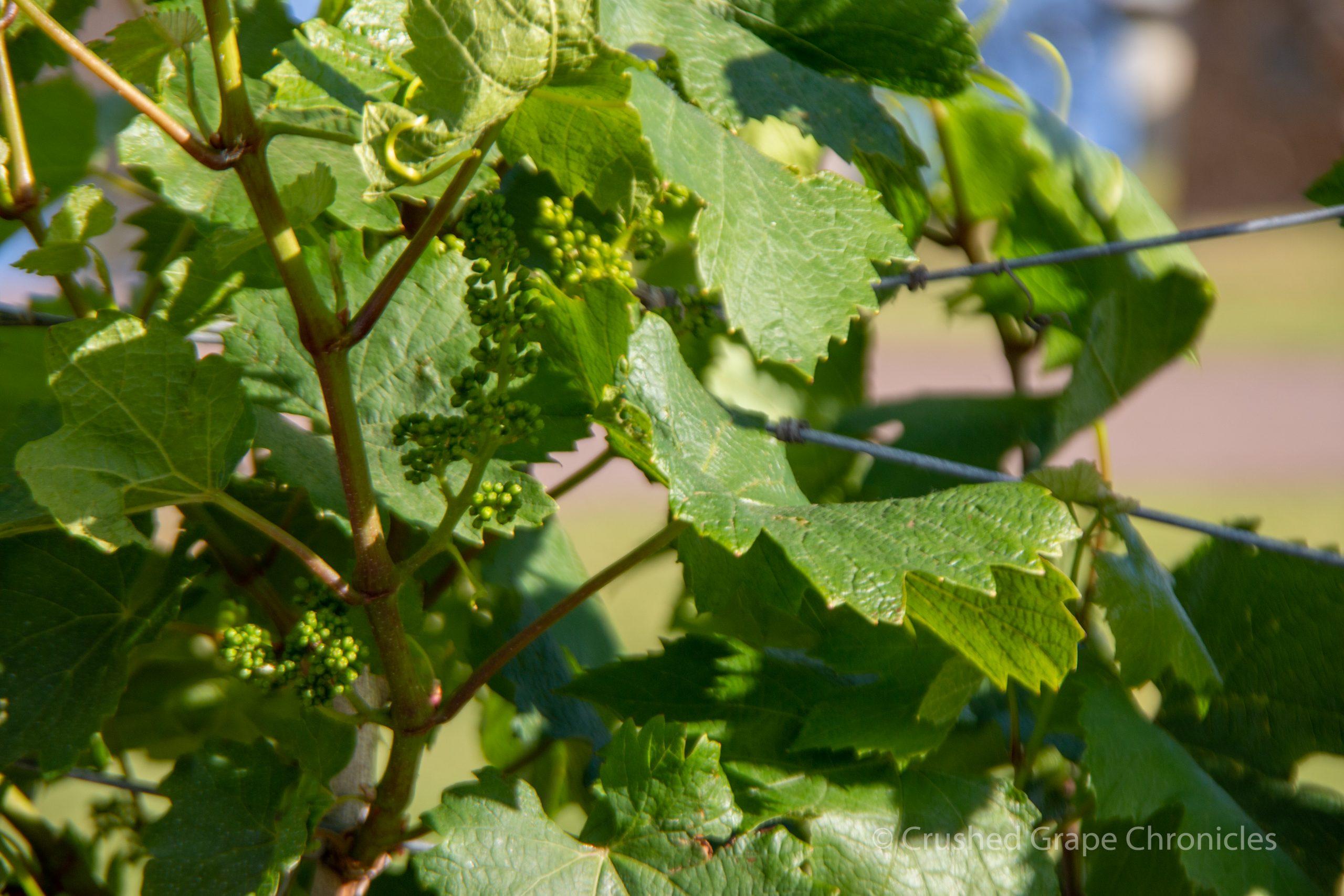 Scarbourgh Wine in Hunter Valley Australia Vineyard