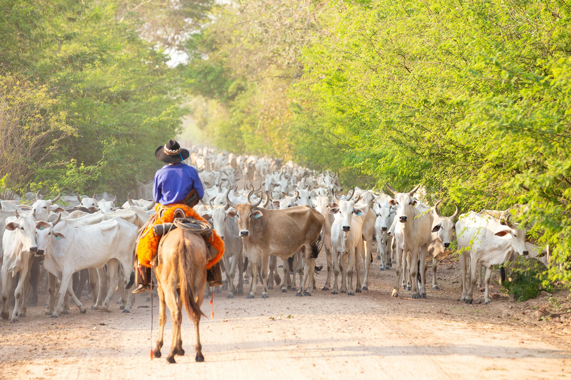 a herd o cattle driven by a Gaucho
