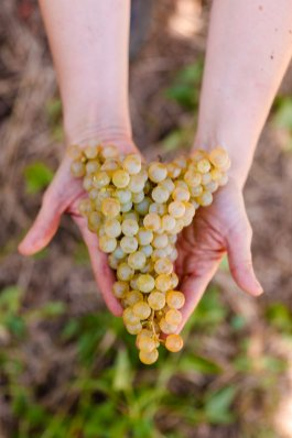 Long Elegant Bunches of Glera in the Prosecco DOC Vendemmia Val D'Oca 2019 - 019 - Photo ©Mattia Mionetto courtesy Val DOca