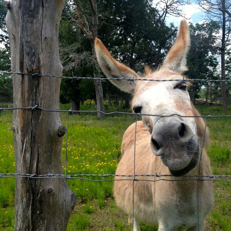Donkey Tan Face