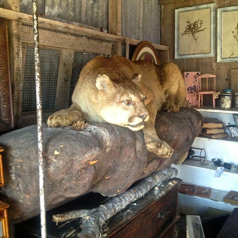 LInda Mountain Lion