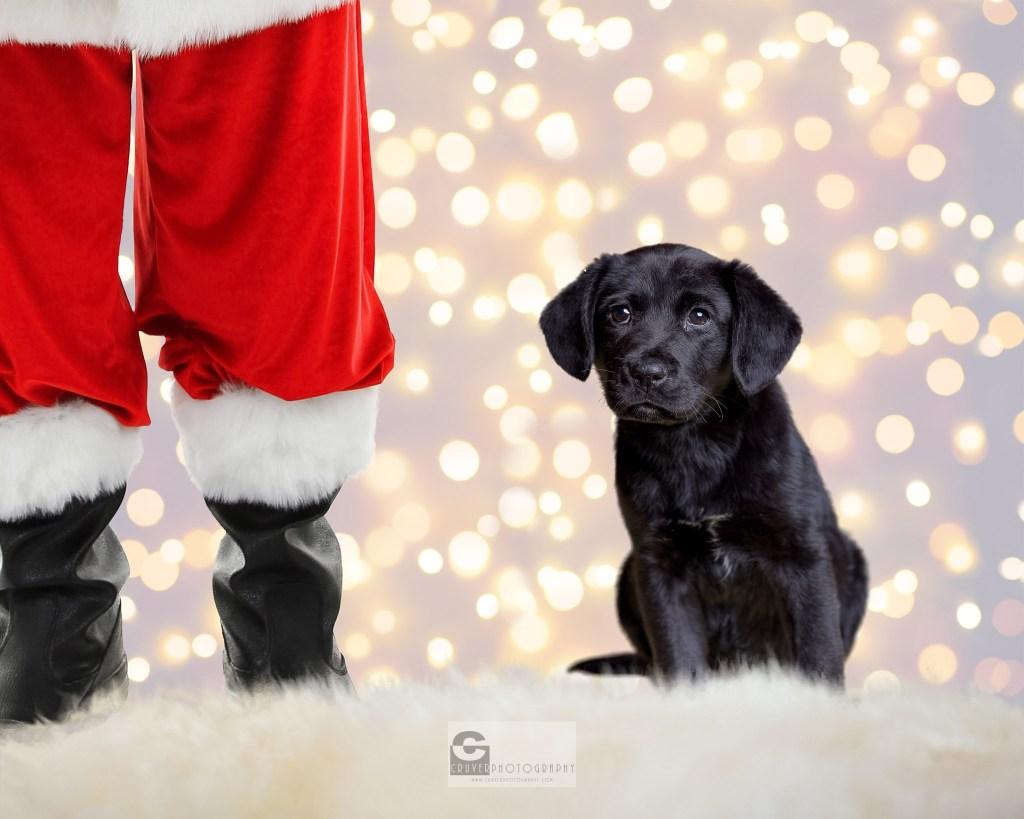 Flossy a black lab puppy ready for adoption