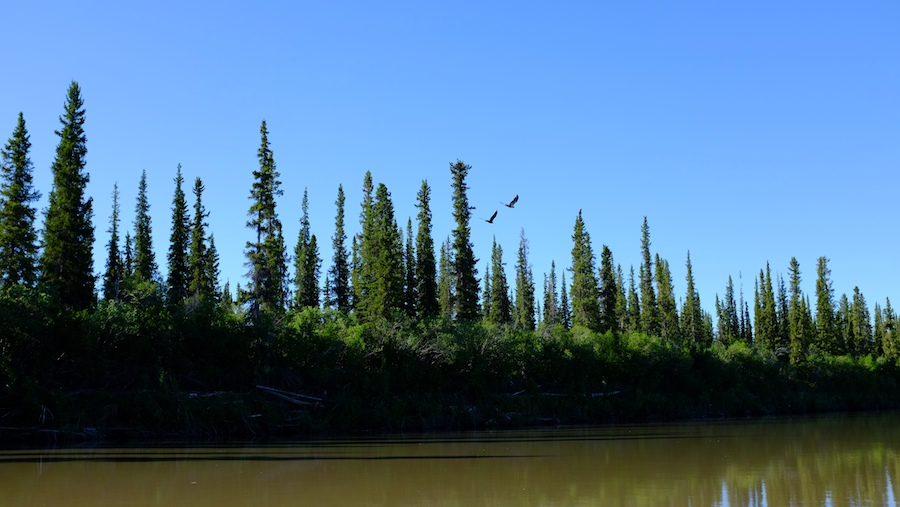 Two bald eagles flying over the stunted forest of the Mackenzie Delta alongside the Mackenzie River in Canada's Northwest Territories.
