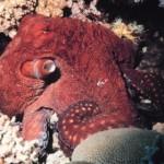 oklahoma_octopus