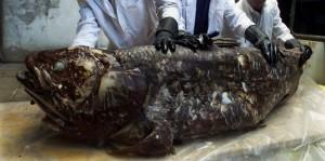 Coelacanthe pêché en 2001 par un pêcheur kenyan (SIMON MAINA / AFP