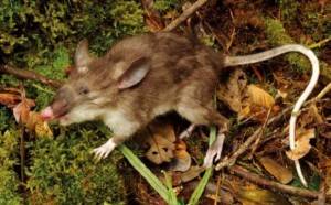 image_3310_1-Hog-Nosed-Rat