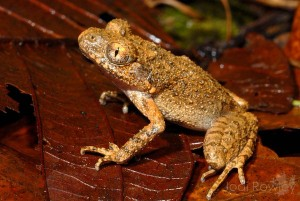 amphibien-du-mekong