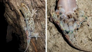 Geckolepis-megalepis