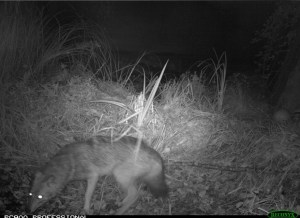 7791488810_l-animal-a-ete-pris-en-photo-par-des-chasseurs-de-haute-savoie
