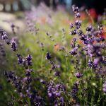 Crystal Hills Organics Lavender