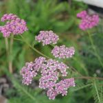 yarrow at crystal hills organics