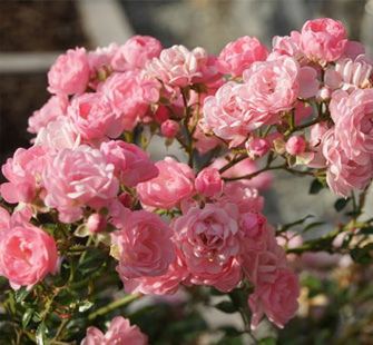 Crystal Love roses