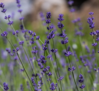 Lavender at Crystal Hills Organics