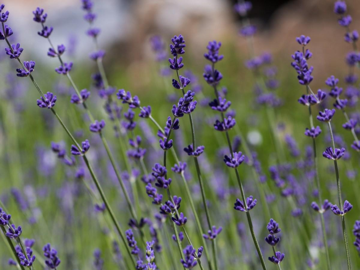 lavender at Crystal Hills Organics