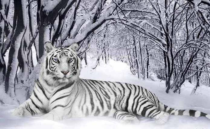 White Tigers Science Symbolism Mythology Healing