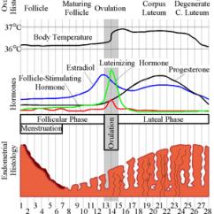 Menstrual Cycle Diagram With Ovulation Nissan Navara D40 Wiring Diagrams