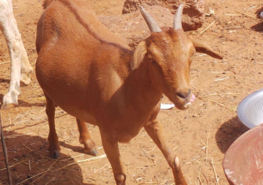 Chèvre rousse de Maradi issue de l'élevage traditionnel