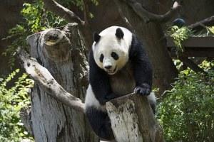 Panda photo courtesy of Pixabay.