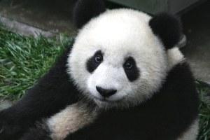 Panda photo courtesy of Pixabay