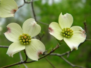 Here is a close up of a dogwood branch with two blossoms, both white with four petals each and their centers a burst of mini green buds. The petals are tinged with a little purple.