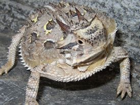This horned frog is puffed up looking more like a turtle in shape. It is brown, grey and tan with a few black spots on its back; two horns on its head.