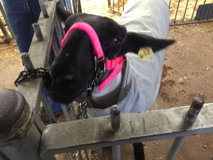 Black-faced sheep is tied up in pen, wearing a pink halter and a white canvas coat.