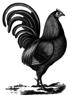 rooster in etch-style