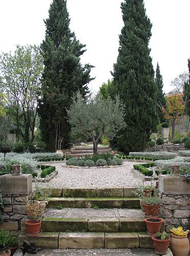 fruitless olive trees california