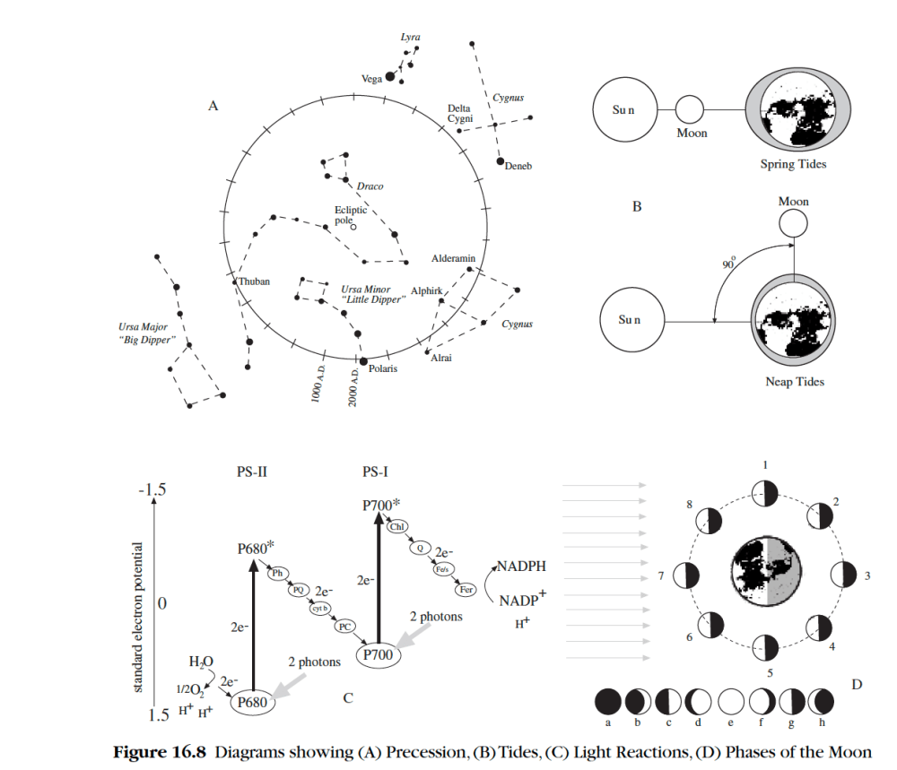 medium resolution of figure 16 8 diagrams showing a precession b tides c light reactions d phases of the moon