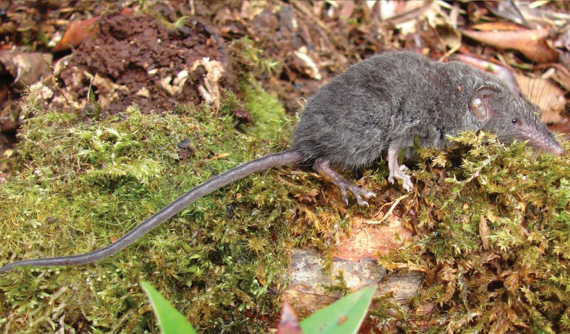 Crocidura palawanensis, a new species of shrew described in a recent paper by Giarla and colleagues. (Hutterer et al 2018, fig 13)