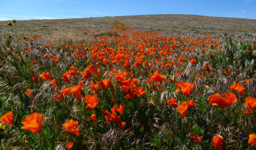 California poppies bloom in the Antelope Valley California Poppy Reserve, 2009 (Flickr: Michael Huey)