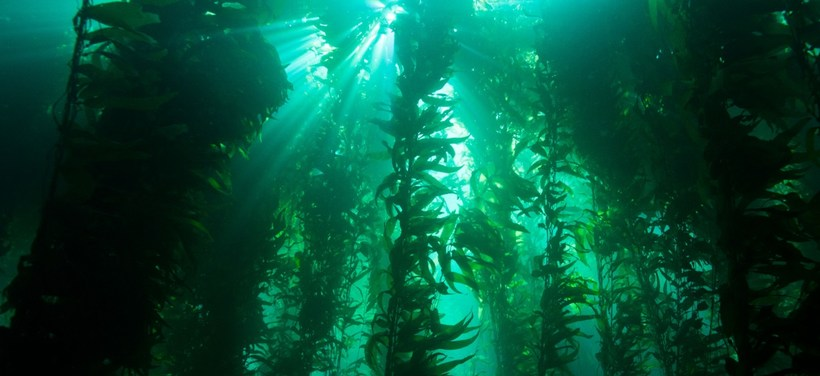 Kelp forest (Flickr: NOAA)