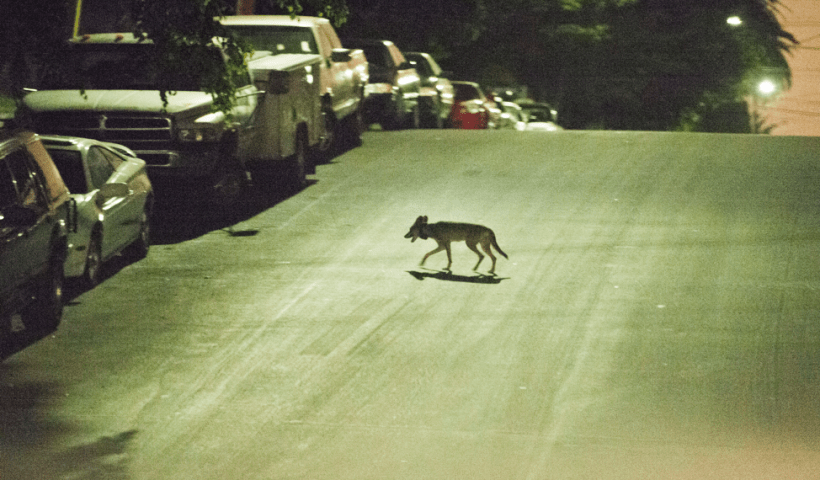 A coyote crosses a city street, lit by streetlights (National Park Service)