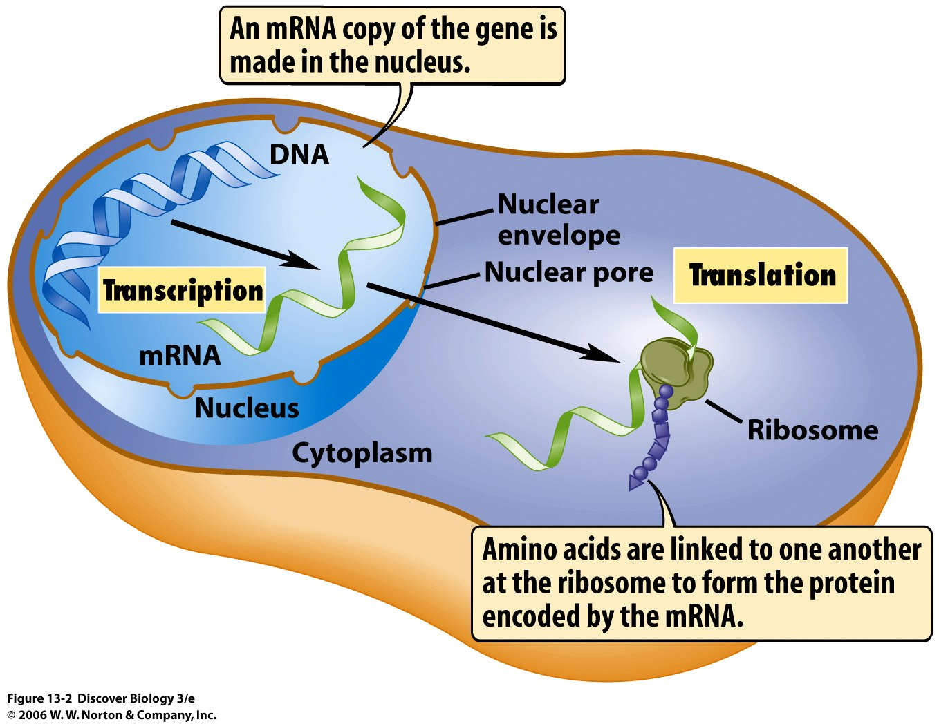 overview?resize=242258 dna translation diagram ribosome dissecting dna damage response
