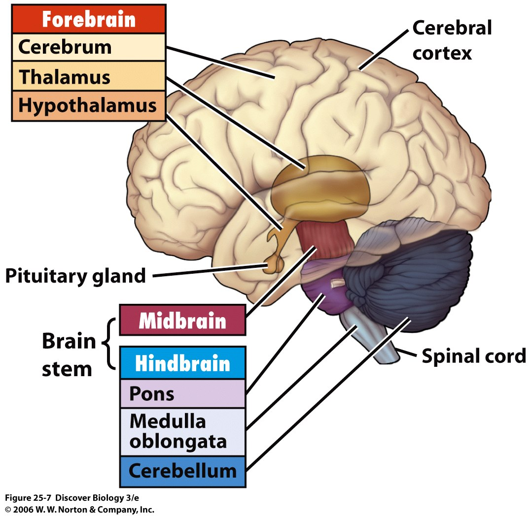 brain diagram pons how to draw a scale bio 7 preview for april 8