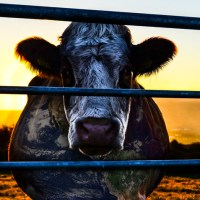 CowSpiracy: dibattito organizzato dall'associazione Claudio Miccoli