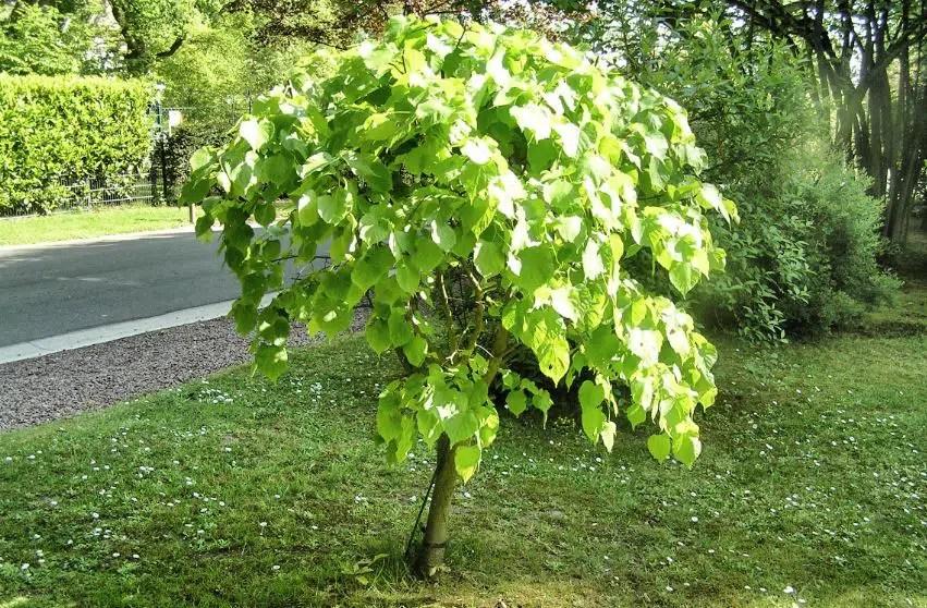 arbre qui pousse vite notre top 10