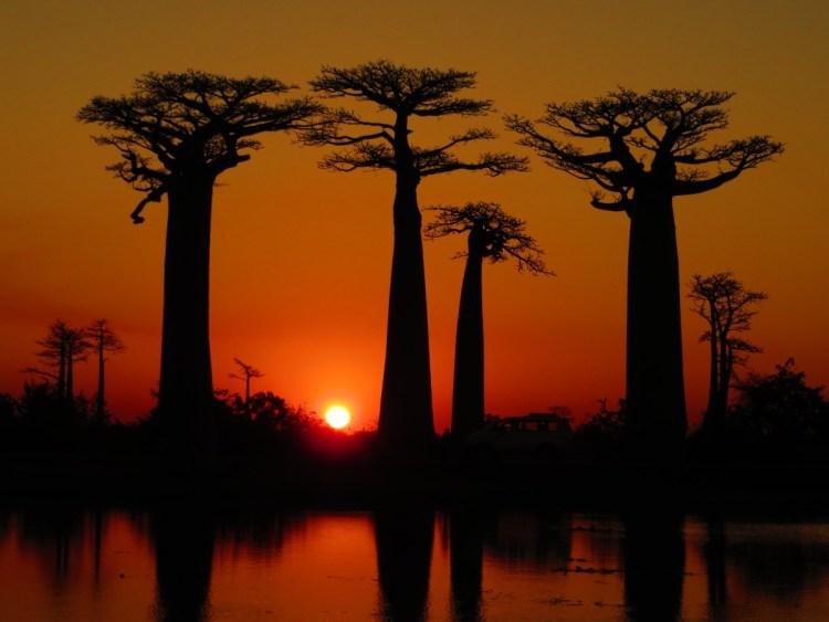laan met Baobabs