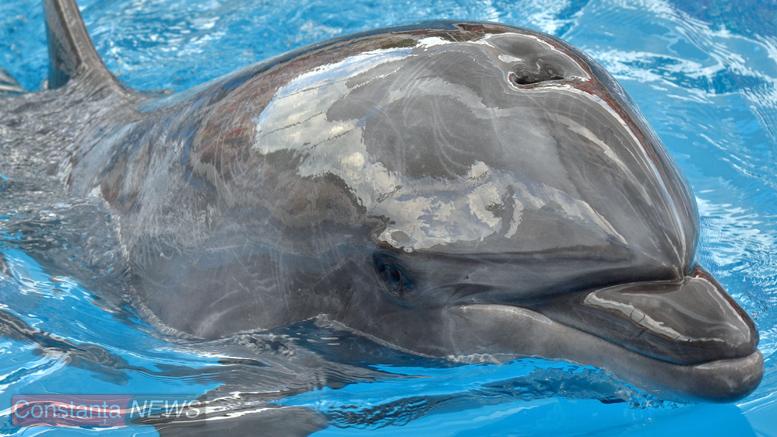 Unul dintre delfinii care vă așteaptă în fiecare zi. FOTO Cătălin Schipor